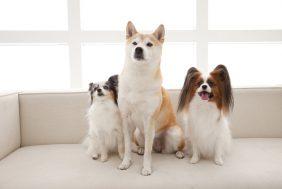 海外で最高レベルの人気秋田犬