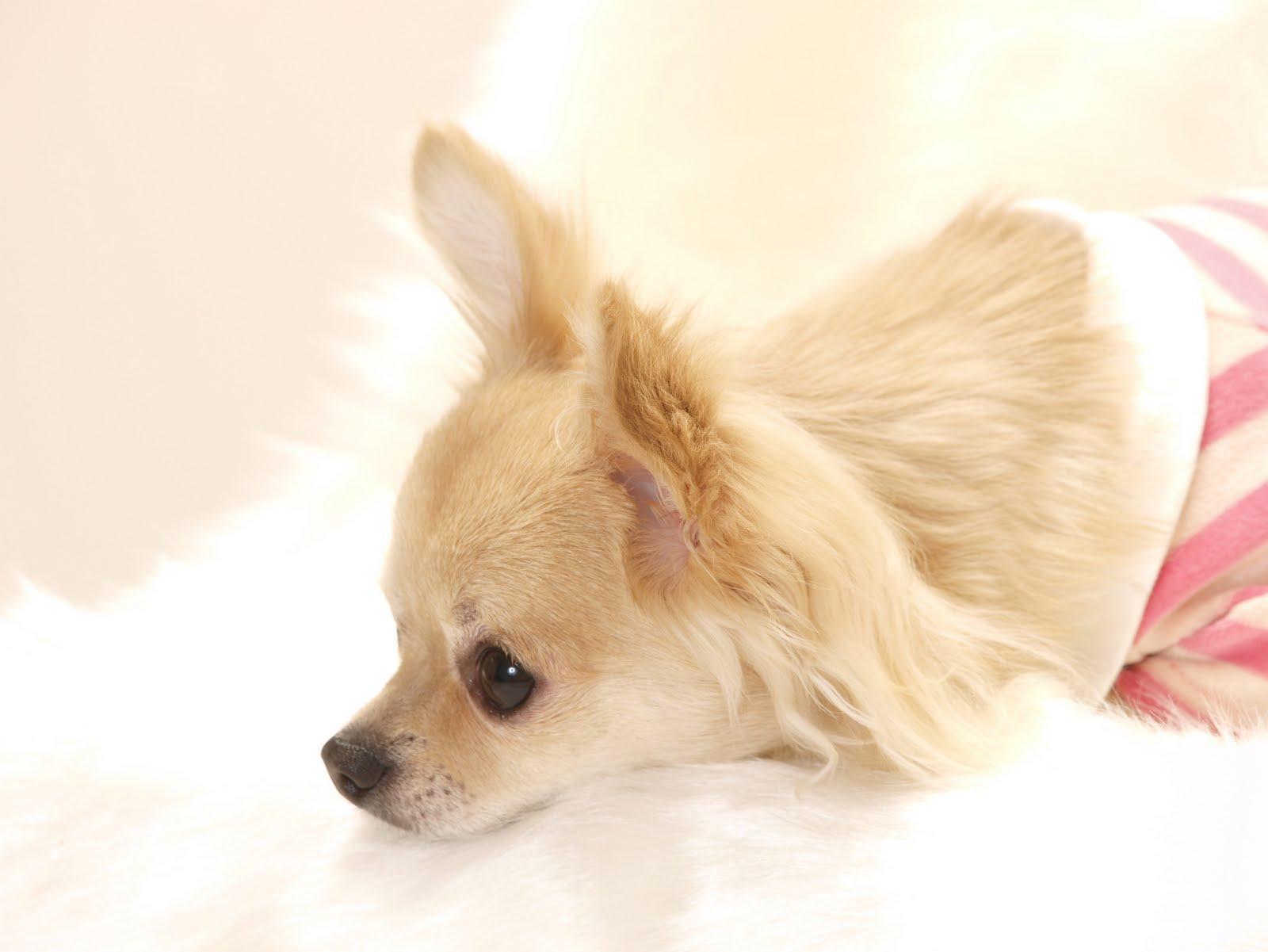 犬のマイクロチップ