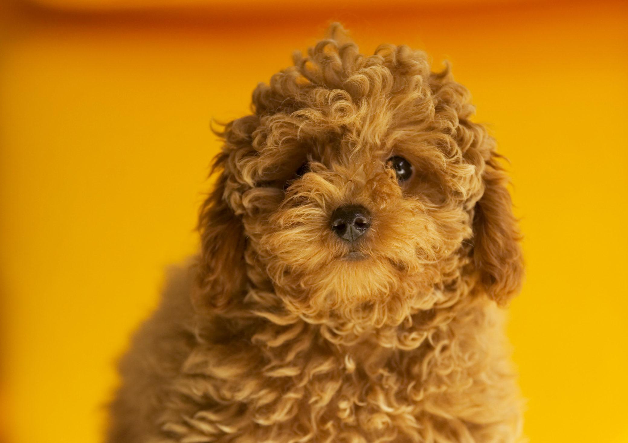 犬の毛の色が変わる!?不思議な犬の毛事情