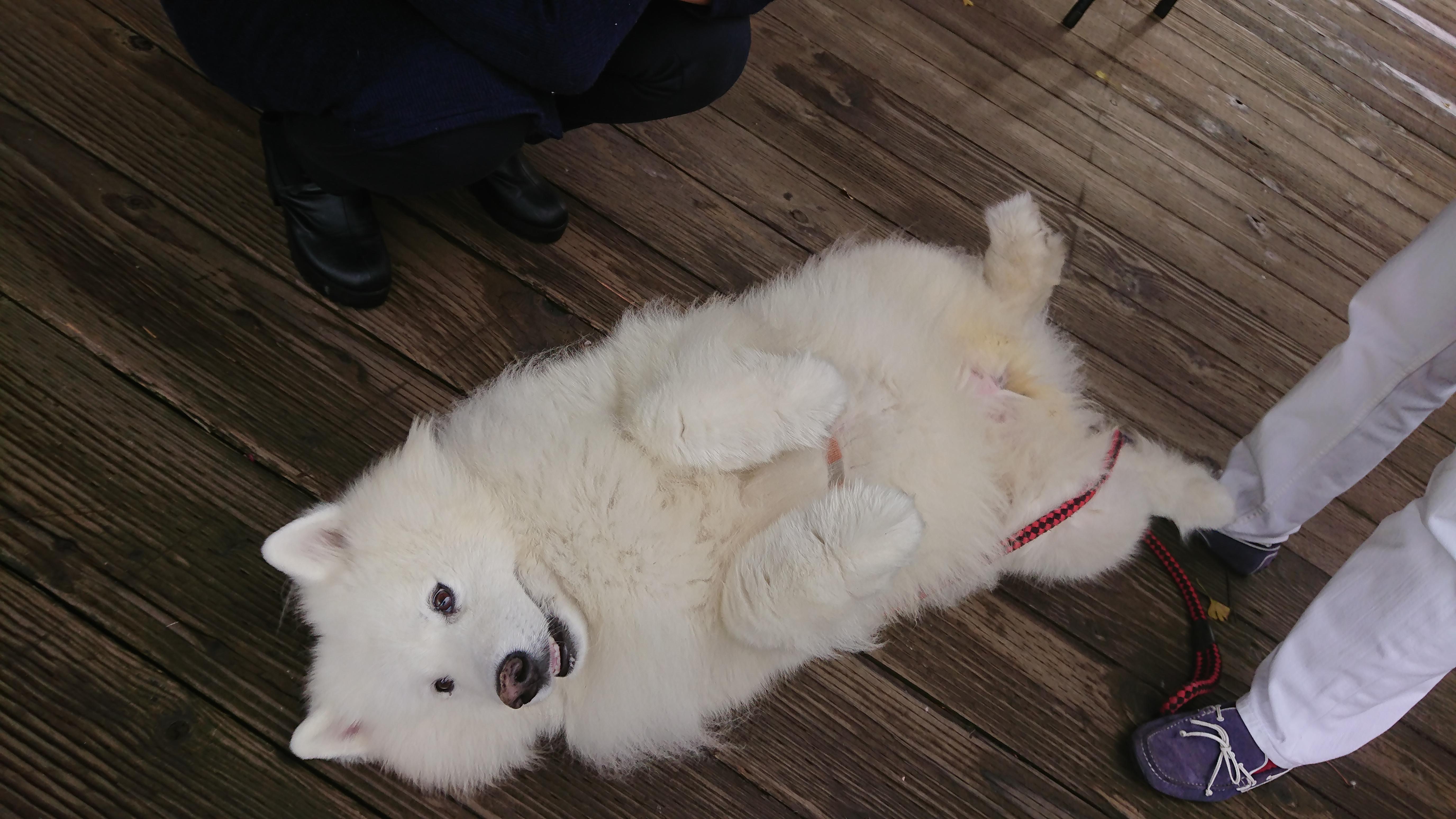 函館スタバ 犬同伴 サモエドのモモちゃん2