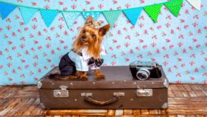 スーツケースに座る小型犬